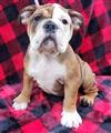 AKC English Bulldogs
